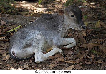 Calf Indian cows lying on the ground .Indiya Goa. - Calf...