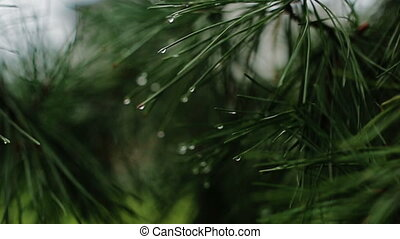 Branch of a coniferous tree with raindrops rainy day
