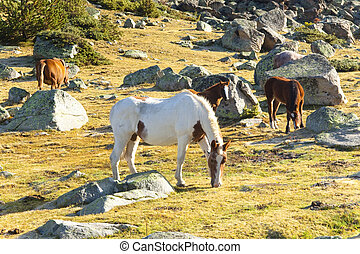 Horses - Pyrenees mountain - Horses in Pyrenees mountain....