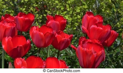 Group of red tulips in the park Natural background Spring...