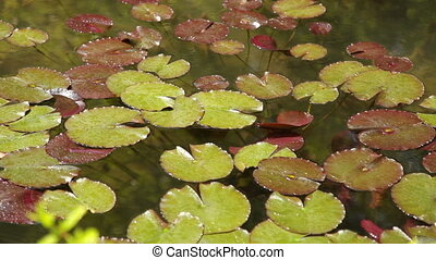 Water Lilies In A Pond - Pond With Water Lilies, Spring Park
