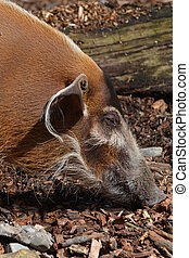 Red River Hog (Potamochoerus Porcus - The red river hog...