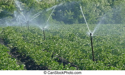 Agriculture, potato field watering