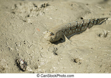 A Blue Spotted Mud Skipper during low tide