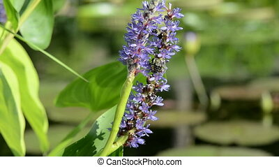 Bees pollinate multiple flowers - Bees pollinate lavender...
