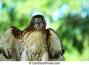 Red-tailed Hawk (Buteo jamaicensis) against natural green...
