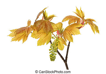 Sycamore - Fresh new leaves and flower of a sycamore tree...