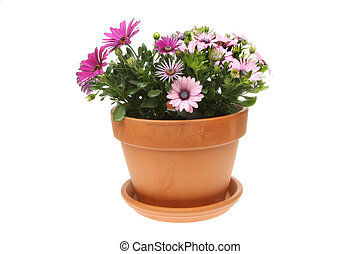 Osteospermum - Flowering Osteospermum plants in a terracotta...