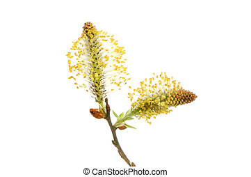 Pussy willow, Salix, flower isolated against white