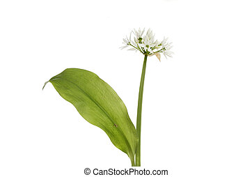 Ramsons, Allium ursinum, wild flower and foliage isolated...