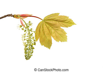 Sycamore - Fresh sycamore leaf and flower isolated against...