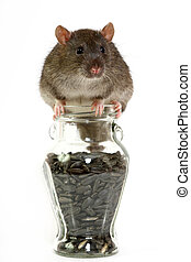 rat - The big grey rat on a white background with sunflower...