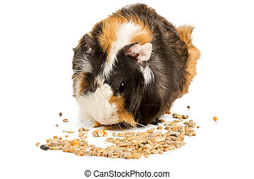 Guinea pig eating grain - Guinea pig eat feed isolated on a...