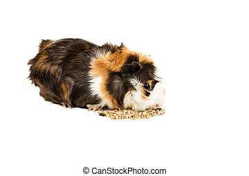 Guinea pig eating - Guinea pig sitting on a pile of feed and...