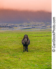 Icelandic horse - Lonesome icelandic horse, frontal view...