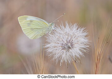 yellow butterfly - small butterfly on dandelion blowball...