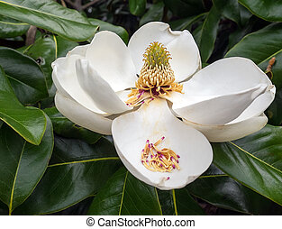 Magnolia Flower in Full Bloom - TIght shot of a huge white...