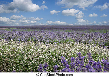 Field of various types of Lavender from white to deep purple...