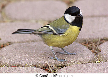 close up of tomtit sitting on road