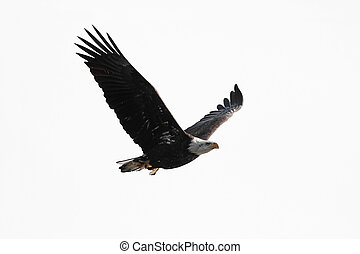 Isolated Bald Eagle Carrying A Fish - Bald Eagle Haliaeetus...