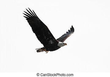 Isolated Bald Eagle Carrying A Fish - Bald Eagle (Haliaeetus...