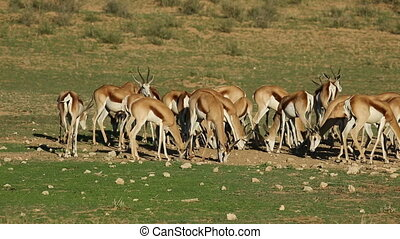 Feeding springbok antelopes - Herd of springbok antelopes...
