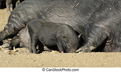 Pot-bellied pigs - A pot-bellied sow with a cute suckling...