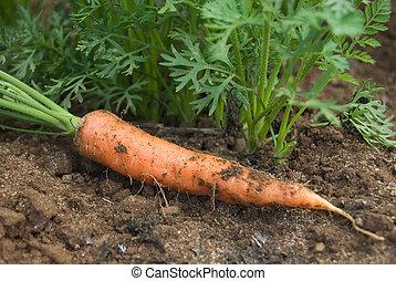 cenoura, plantas