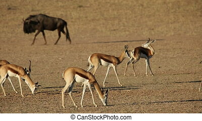 Springbok antelopes and wildebeest - Springbok antelopes...
