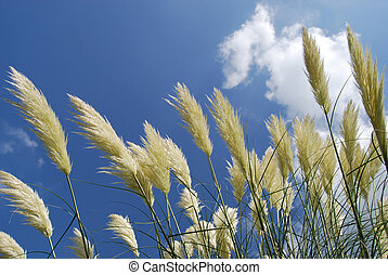 Pampas grass on a bright summers day