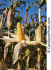 Sweet corn harvest - Ripe sweet corn exposed on the plant...