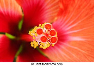 Close up of Hibiscus flower pistil