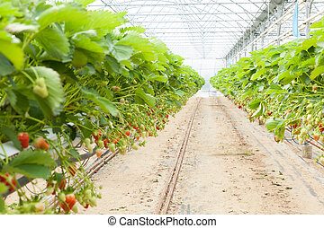 culture in a greenhouse strawberry and strawberries