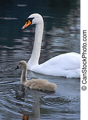 Swan and signet together on a lake