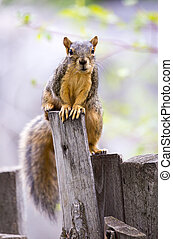 Fox Squirrel - A fox squirrel peeks over a fence post
