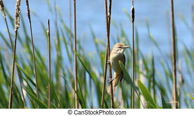 Bird in the reeds - Great Reed Warbler