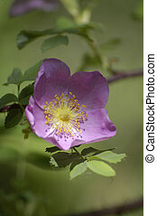 THE WILD ROSE OF ALBERTA
