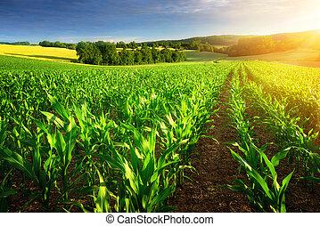 iluminado por el sol, filas, de, maíz, plantas,