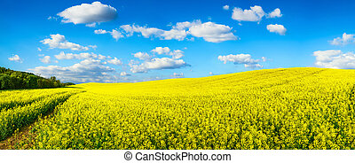 Vast field of blossoming rapeseed, panorama - Panorama...