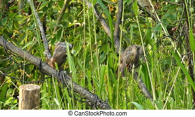 jungle babbler birds Turdoides striatus