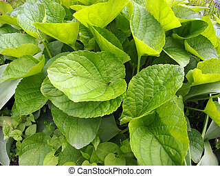 Broad leaves on the lawn closeup - Broad green leaves on the...