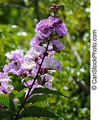Purple Crape Myrtle in Bloom - Blooming prurple flowers on...