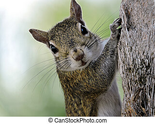Eye Contact - Eastern Grey Squirrel making direct eye...