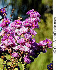 Purple Crape Myrtle in Bloom - Flowers blooming on Crape...