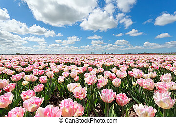 pink tulip field and blue sky, North Holland, Netherlands