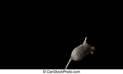 Gray rat runs across the screen. - Rat with long tail moves...