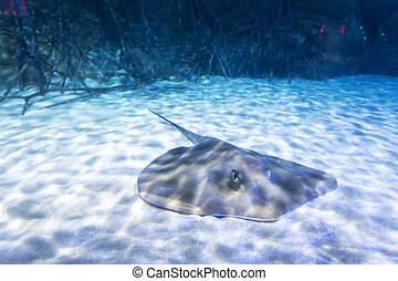 Manta Ray in Aquarium
