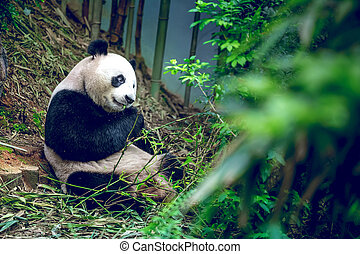Giant panda - Hungry giant panda bear eating bamboo