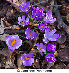 Crocus sativus - Colourful flowers, Crocus sativus, blooming...