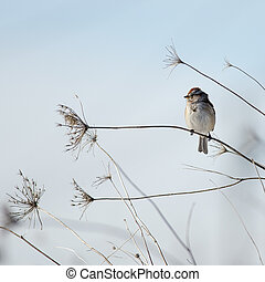 American Tree Sparrow perched comfortably on a thin stalk